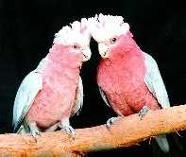 Rose-breasted Cockatoos